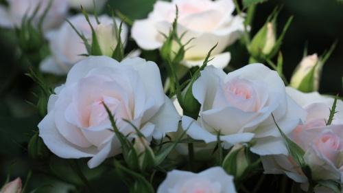 2013西尾農園のバラを見てきました