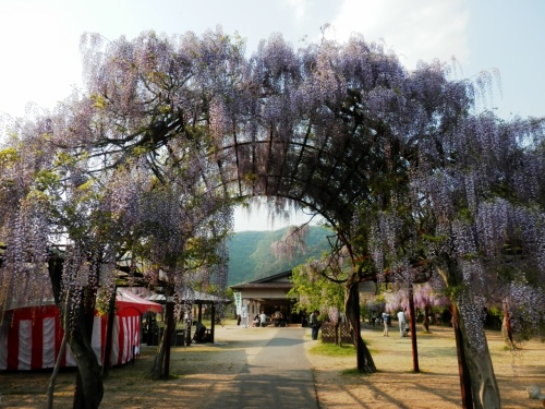 蝦夷地から 帰ってすぐに 藤を観る(和気町藤公園)