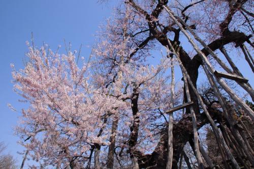 桜前線を追いかけて【2】~老桜と美味しい蕎麦と~