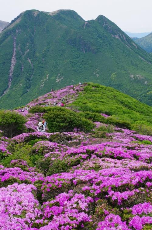 2013花の山、くじゅう平治岳へ、ミヤマキリシマに逢いに行く