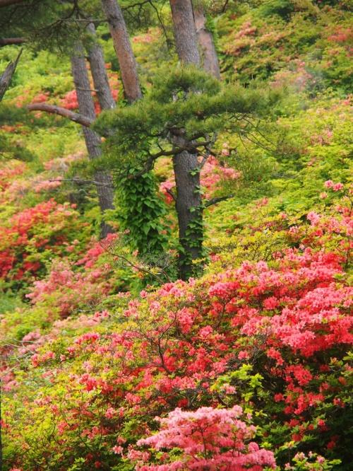山一面が、つつじの朱紅色に染まる~~(はずだった・・)・・・! ☆気仙沼市・徳仙丈山☆