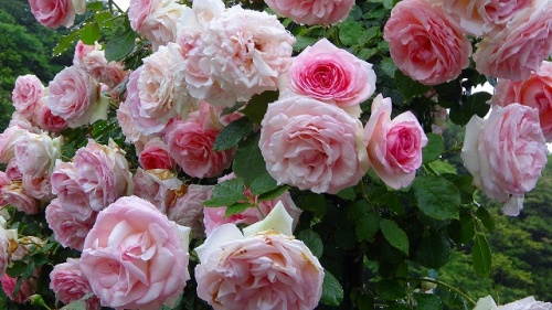 庭園紀行(98)・・・冠山総合公園(1) バラの花が満開