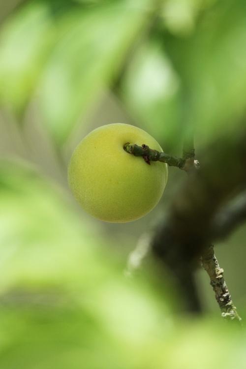 Solitary Journey [1216] 花菖蒲と紫陽花が見頃だったので…。それと梅の実はまん丸で可愛い♪<三景園花まつり>広島県三原市