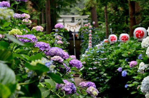 梅雨時の花をたずねて (?)磯山神社参道に咲く紫陽花