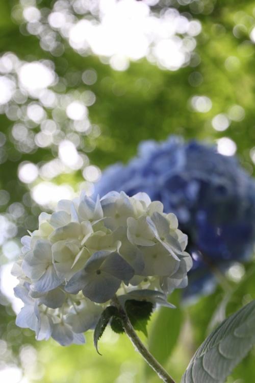 雨上がりの水滴の付いた紫陽花が見たくて本土寺に一人ップ
