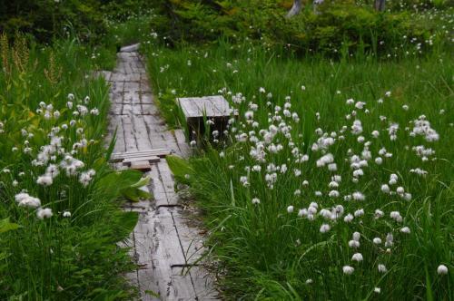 雨あがりの五色沼とワタスゲ咲くデコ平湿原