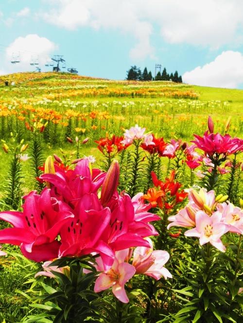 250万輪のゆりが咲く びわ湖箱館山ゆり園で 元気溌剌♪ 情緒安定♪
