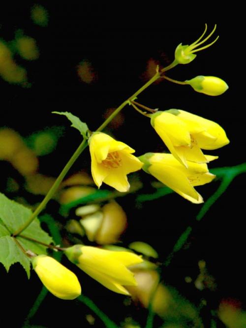 天涯の花「キレンゲショウマ」を訪ねて (2泊3日) 2日目 2−1 剣山編