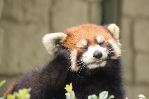 ほおづえをつくレッサーパンダ