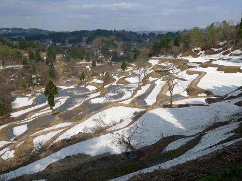 雪椿と残雪の棚田 新潟