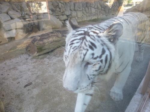 ホワイトタイガーに会いに東武動物公園へ