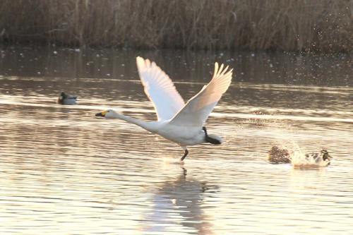水面を力強く駆けて優雅に飛ぶ白鳥(菅生沼の白鳥)
