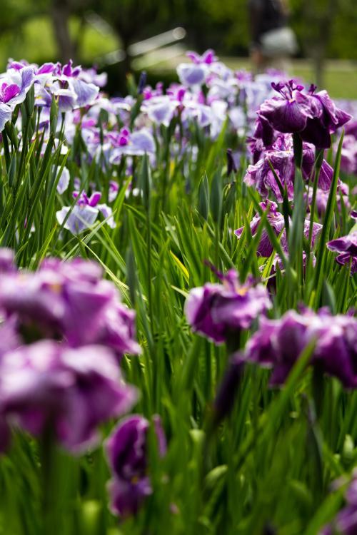 横須賀/三浦半島ぐるり旅【4】~四季折々の花々が咲き誇る花しょうぶの名所~横須賀しょうぶ園