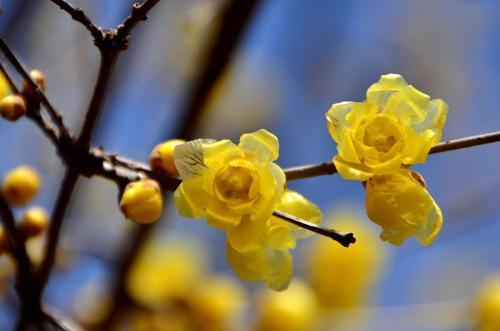 2014 花フェスタ記念公園(1)ロウバイを探して