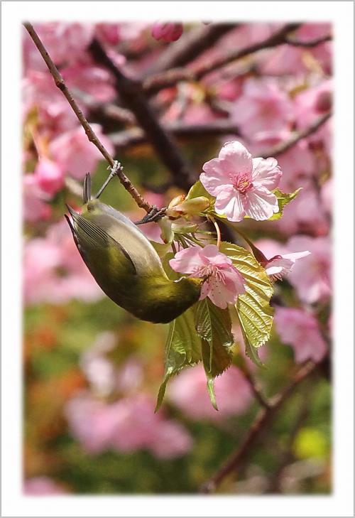 Solitary Journey [1336] 早咲き桜、濃いピンク色をした満開の河津ザクラに群がるメジロたち♪<蒲刈町県民の浜周辺>広島県呉市