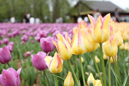 チューリップの咲き誇る世羅高原へドライブ旅行!