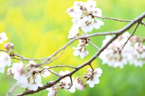 花霞につつまれて−熊谷桜堤−