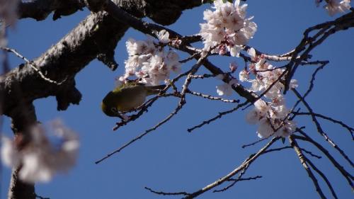 大仁温泉・・・龍源寺の枝垂れ桜が満開になりました。