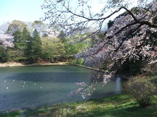 まだ見れる県立三池公園の桜