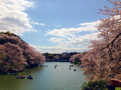 東京散歩はじめました。o〇【靖国・千鳥ヶ淵花見~インド大使館★皇居一般公開は断念したよ編】