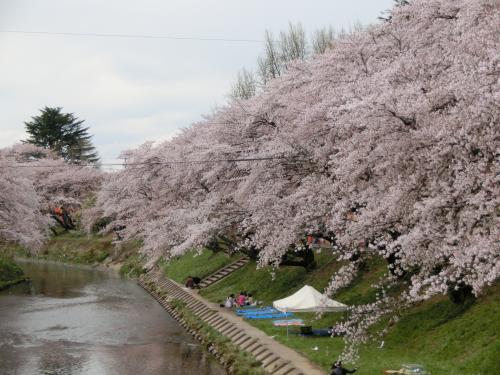 2014年春爛漫 各務原新境川堤の桜並木