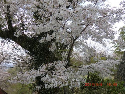 残念な温泉に桜も終わりかな?
