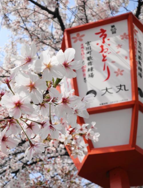 ◇京都 花街巡り~桜と艶を競う、芸舞妓の春~【1】1日目前半・宮川町 京おどり編◇