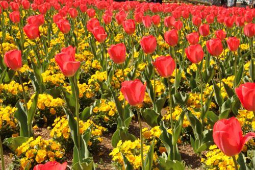 大宮花の丘農林公苑  ちょっと見ごろ過ぎたけど…春の代表花チューリップを見に!