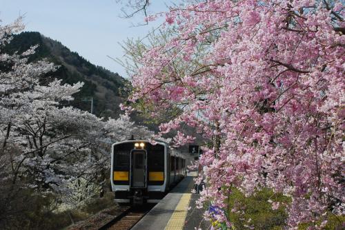 水郡線の桜と鉄道