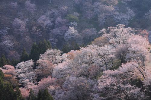 桜咲く吉野山へ【2】~桜吹雪舞う吉野~