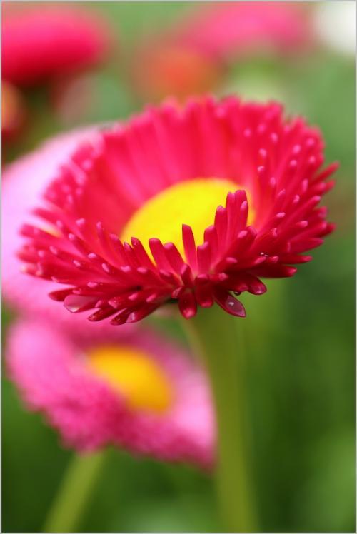 Solitary Journey [1368] 春真っ盛りなのでお出かけ♪オダマキの花とシャクナゲの花がきれいでした。<湧永庭園>広島県安芸高田市