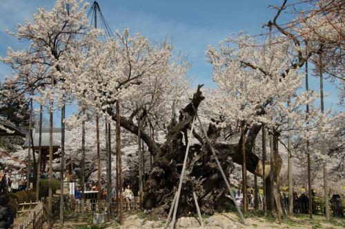 神代桜・わに桜・桃、山梨花の競演を見に行こう