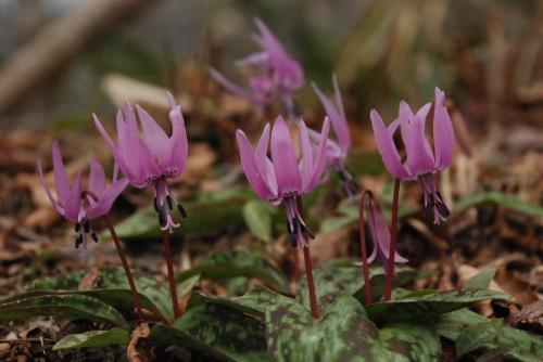 ブナの原生林に囲まれた奥大山で、春を見つけました