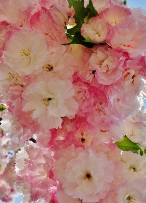2014年花のまわりみち【造幣局広島支局】華やかな八重桜とライトアップされた幻想的な花園に感動!