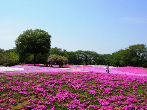 <群馬・館林花巡りの旅・前編>分福茶釜で有名な「花の狸寺」&25万株のピンクの絨毯「芝桜」