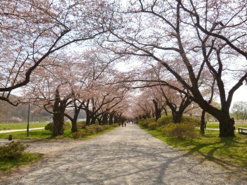 岩手県北上市 展勝地の桜 三分咲き
