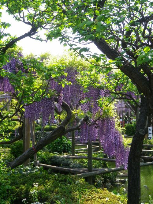 藤の花咲く、亀戸天神。