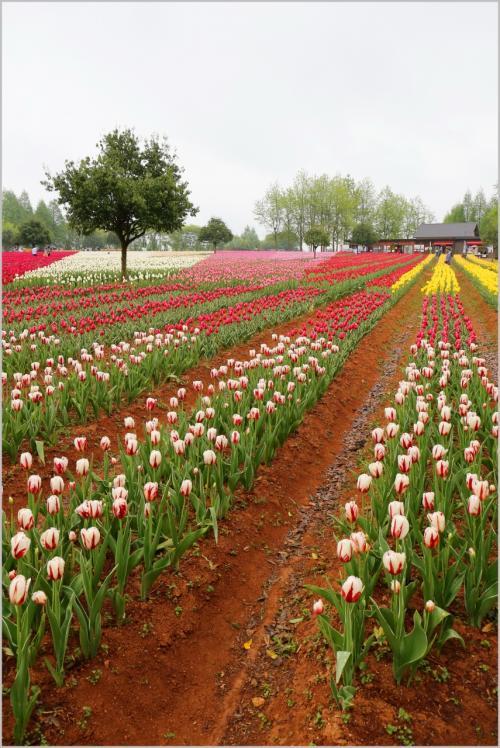 Solitary Journey [1388] 花はみんなを幸せにする♪小雨降る中でチューリップ観賞^^;<世羅高原農場チューリップ祭>広島県世羅町