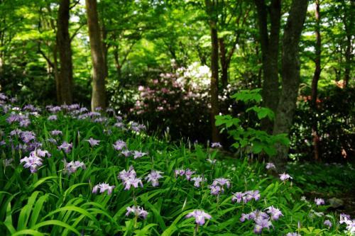 2014年 岳人の森へ姫シャガを訪ねて