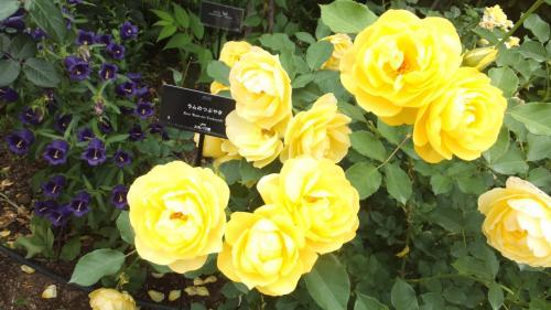 横浜イングリシュガーデン、弘明寺、金沢文庫・称名寺に行きました①(イングリシュガーデン~こんなにバラが素晴らしいなんて)