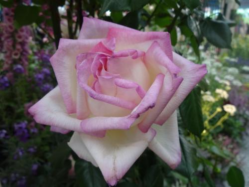 第16回国際バラとガーデニングショウを楽しんで来ました。