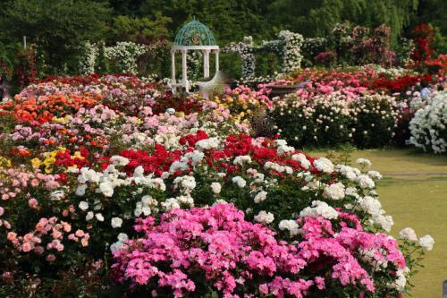 今年も恒例の春バラ詣のラストを飾る京成バラ園とレッサーパンダ詣(1)朝のバラ園とバラ園のアーチを超広角と広角の2本のレンズでチャレンジ&バラ以外の花