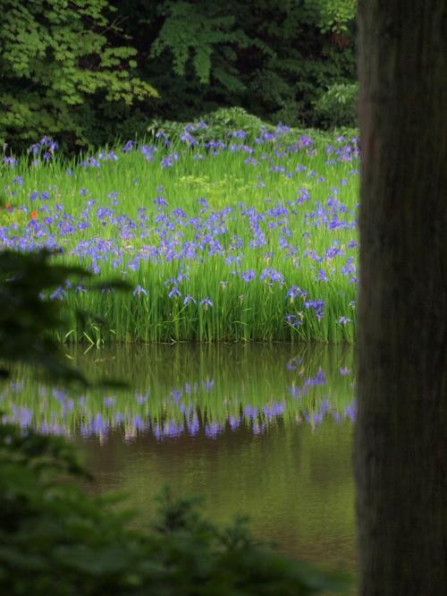 ひっそりと咲くカキツバタ -高島市-