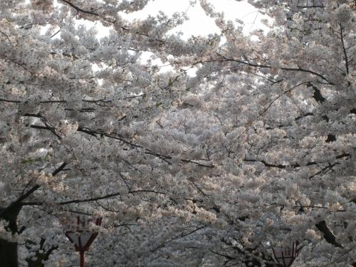 今年も弘前の桜