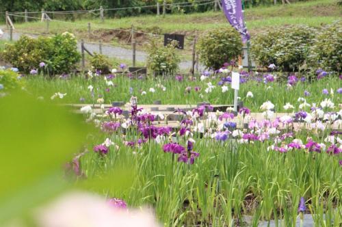 上尾 丸山公園花菖蒲祭り  あらら…5月の天気が良すぎたのね お疲れ気味のあじさいと花菖蒲たち