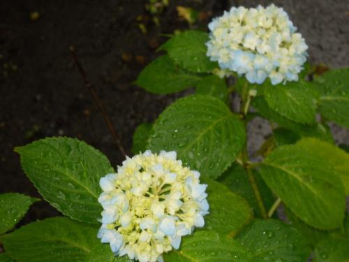 武蔵小金井 『三光院』 綺麗な紫陽花の咲く、この時季だけのお料理 念願の『インドのうさぎ』を食べに行って来ました!!