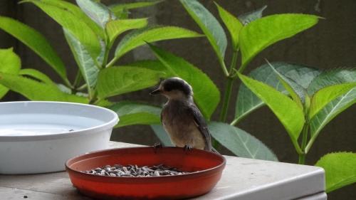 ヤマガラさんの幼鳥が独り立ちしています。