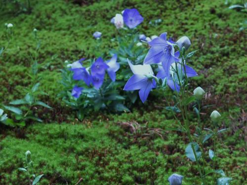 桔梗の咲く庭の夕景~東福寺塔頭 天得院~