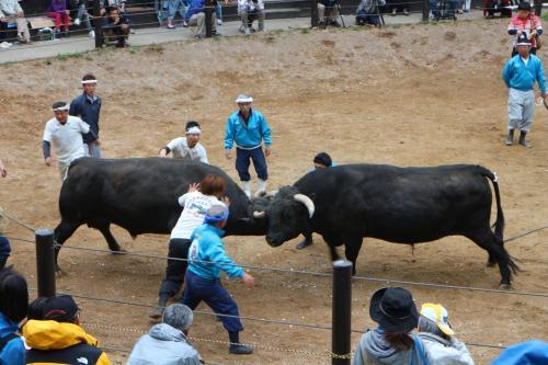 山古志村 牛の角突き