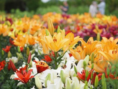 ぶらり日本の城めぐりその48<篠山城> 篠山玉水ゆり園で色とりどりのゆりとアジサイを楽しむ日帰り旅